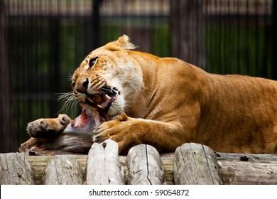 lying lion eat fresh meat