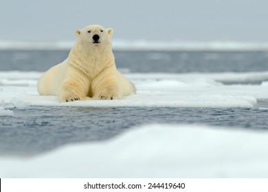 Lying polar bear on drifting ice on arctic Svalbard.