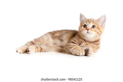 Lying pretty british tabby kitten