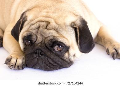 A lying pug dog looks sad. Isolated
