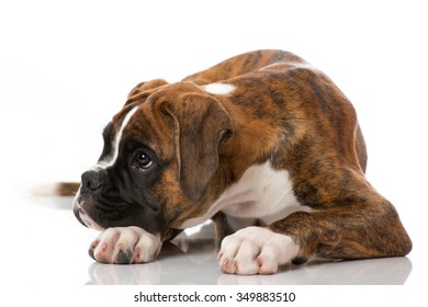 Lying Puppy