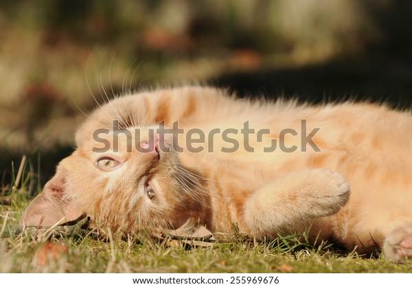 Lying red cat