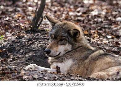 Lying resting wolf