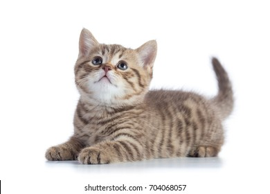 Lying Scottish Straight kitten looking up isolated on white background