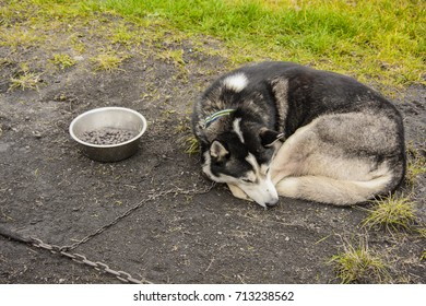 Lying siberian husky tied to the chain. Dog best friend of man. Working dog breed. Purebred dog. Sad dog tied to the chain