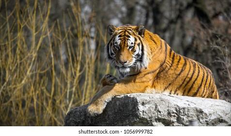 lying tiger on a rock