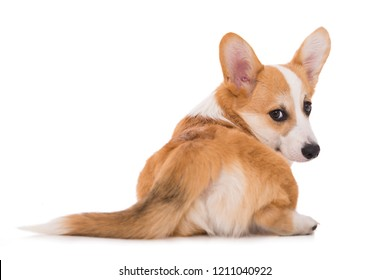 lying welsh corgi dog from behind turn around and looking to camera