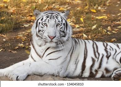 Lying white bengal tiger among fallen leaves.