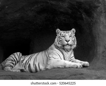 Lying white tiger near the enter of his cavern. Black and white image.