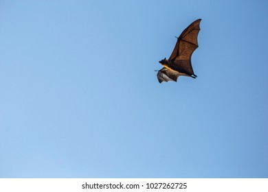 Lyle's flying fox