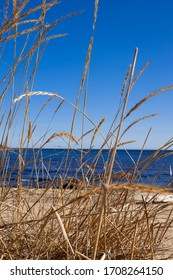 Lyme grass by the sea, the Gulf of Bothnia. Ratan, Sweden