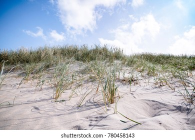 Lyme grass in the sand on a beach dune in danish nature in the summer