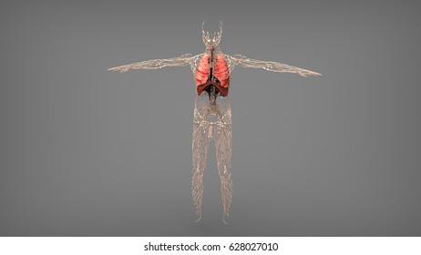 lymph nodes respiratory system 3d illustration
