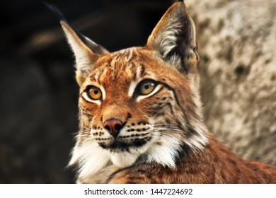 Lynx lynx adult animal portrait