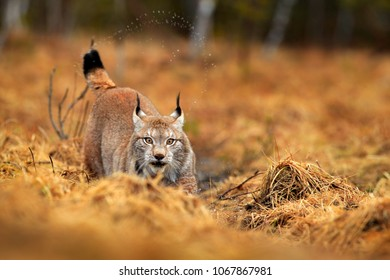 Lynx in autumn forest. Wildlife scene from nature. Walking Eurasian lynx, animal behaviour in habitat. Wild cat from Germany. Wild Bobcat between the trees. Hunting carnivore in autumn grass.