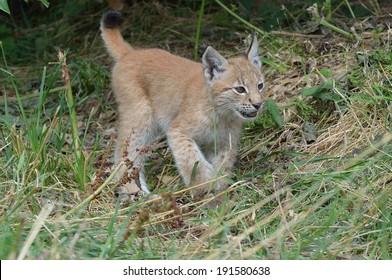 Lynx ( baby)