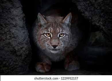 Lynx is a big cat sitting on the ground and ironically looking straight at you. close-up is a glance of a lynx.