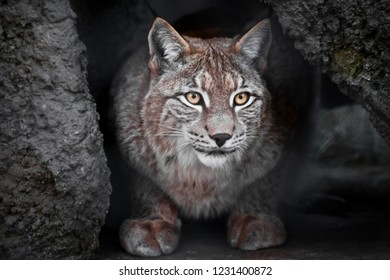 Lynx is a big wild cat ironically looking, dark background is the clear eyes of a cat