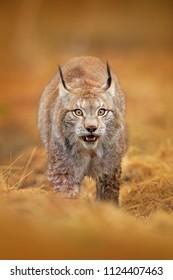 Lynx in brown grass. Wildlife scene from nature. Walking Eurasian lynx, animal behaviour in habitat. Wild cat from Germany. Hunting carnivore in autumn grass.