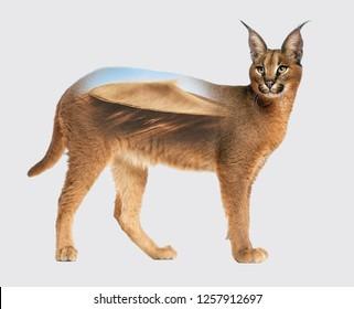 LYNX CARACAL, wild cat