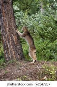 Lynx Climbing a Tree