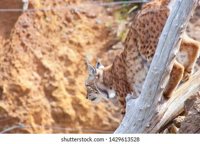 Lynx coming down from a tree and ready to jump