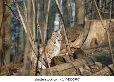 Lynx cub in forest. Lynx Lynx.