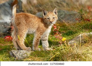 Lynx cub kitten