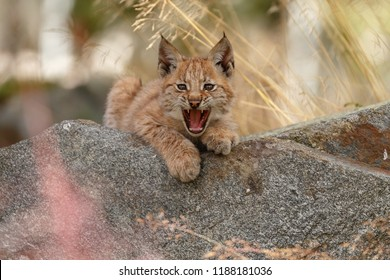 Lynx cub kitten in a nature setting.