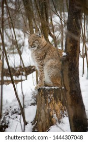 Lynx cub sitting on a stump in winter. Lynx Lynx.