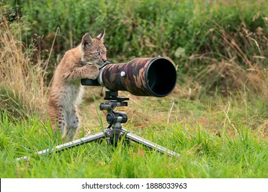 Lynx cub as wildlife photographer. Funny image of lynx acting like a human. Animal photo