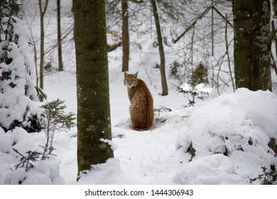 Lynx cub in winter forest. Lynx lynx. Bavarian Forest National Park.