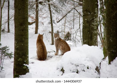 Lynx cubs in winter forest. Lynx lynx. Bavarian Forest National Park.