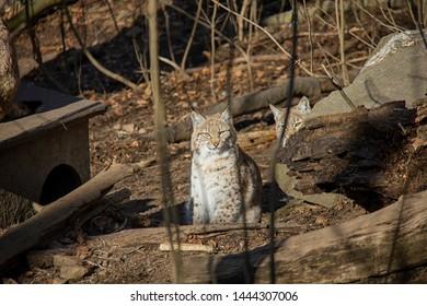 Lynx cubs in the zoo. Lynx Lynx.