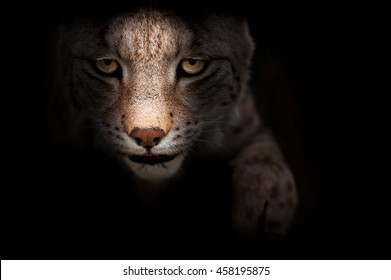 A lynx in the dark with focused eyes