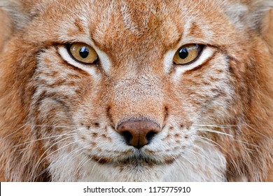 Lynx, detail face portrait with beautiful eyes. Cute fur of Eurasian lynx, animal in habitat. Wild cat from Germany. Close-up detail portrait. Lynx in orange autumn forest. Wildlife scene from nature.