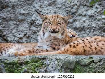 Lynx. The Eurasian lynx is the largest of all lynxes. Legs large well furred in winter, which allows the lynx to walk on the snow without sinking. On tinnitus long tassels.