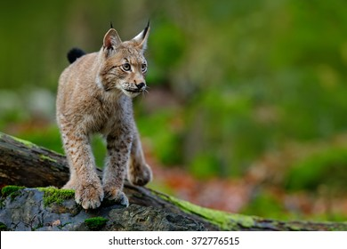 Lynx, Eurasian wild cat walking on green mossy stone with green rocks in the background, animal in the nature habitat, Germany.