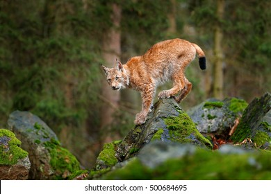 Lynx, Eurasian wild cat walking on green mossy stone with green forest in background. Beautiful animal in the nature habitat, Germany.