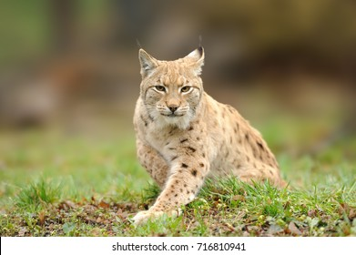Lynx, Eurasian wild cat walking on forest in background. Beautiful animal in the nature habitat. Wildlife hunting scene