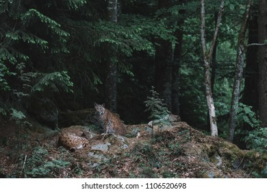 Lynx family in dark forest at Bayerischer Wald National Park, Germany