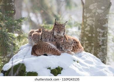 Lynx family in a forest with snow