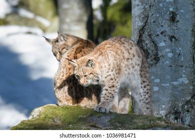 Lynx family portrait