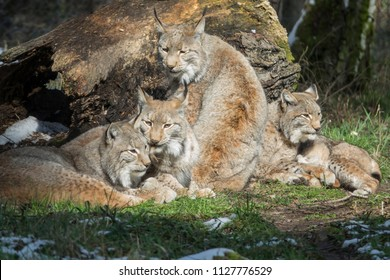 lynx family resting close together beside a fallen trunk in the forest