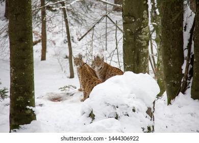 Lynx family in winter forest. Lynx lynx. Bavarian Forest National Park.
