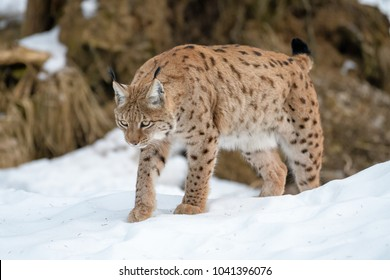 Lynx in the forest