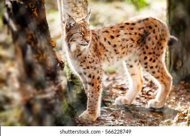 Lynx in the forest.  Finland. Kuusamo.