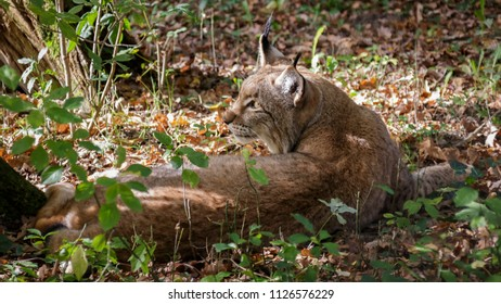 Lynx in forest Germany