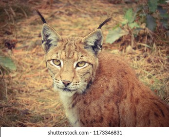 Lynx in the forest with small offspring