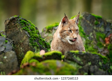 Lynx in the forest. Walking Eurasian wild cat on green mossy stone, green trees in background. Wild cat in nature habitat, Czech, Europe. Wildlife scene from nature. Beautiful fur coat animal.